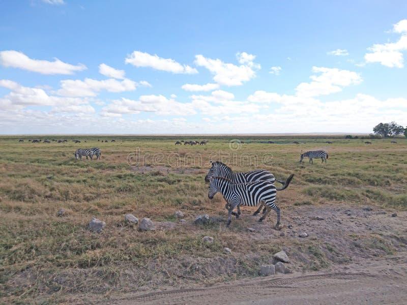 Fondo de la imagen del paisaje con las cebras fotos de archivo