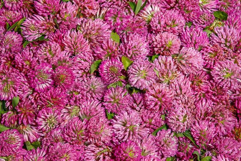 Fondo de la inflorescencia del pratense del Trifolium fotos de archivo