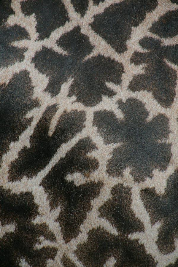 Fondo de la jirafa fotos de archivo libres de regalías