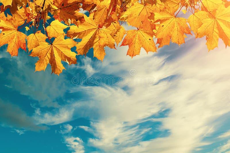 Fondo de la naturaleza del otoño con el espacio libre para el texto - hojas de arce anaranjadas coloridas del otoño contra el cie imagenes de archivo