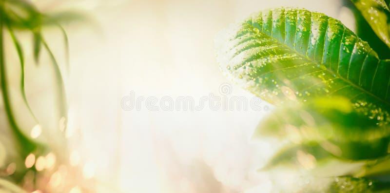 Fondo de la naturaleza del verano con la iluminación verde de las hojas, del rayo de sol y del bokeh bandera imagenes de archivo