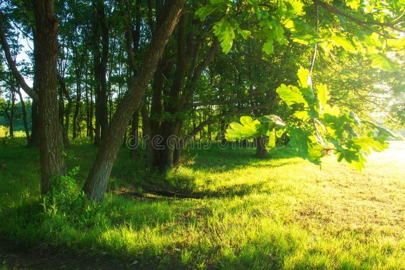 Fondo de la naturaleza del verano ?rboles en luz del sol Sol en árbol verde Paisaje soleado brillante escénico imagenes de archivo