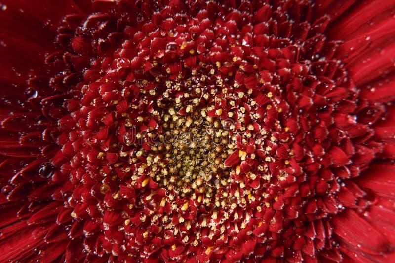 Fondo de la naturaleza E Fondo rojo fresco de Gerber Vista macra de la textura de la naturaleza y del orga abstractos del fondo fotografía de archivo libre de regalías