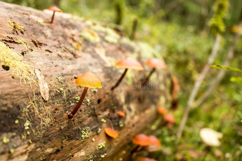 Fondo de la naturaleza Moss Close Up View con la pequeña seta de las setas crecida Detalles macros Foco selectivo imagen de archivo libre de regalías