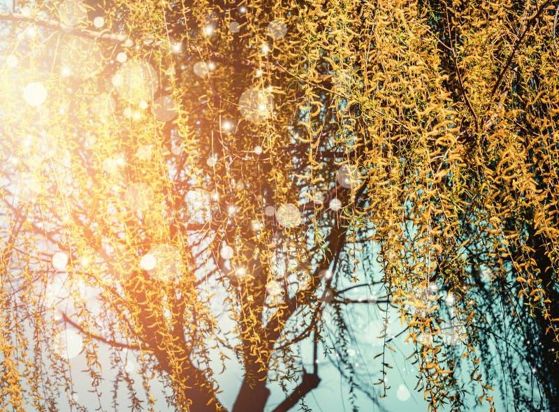 Fondo de la naturaleza de la primavera con el flor amarillo del sauce que llora en la puesta del sol imagenes de archivo