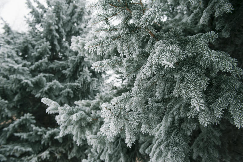 Fondo de la Navidad con los abetos nevosos imagen de archivo libre de regalías