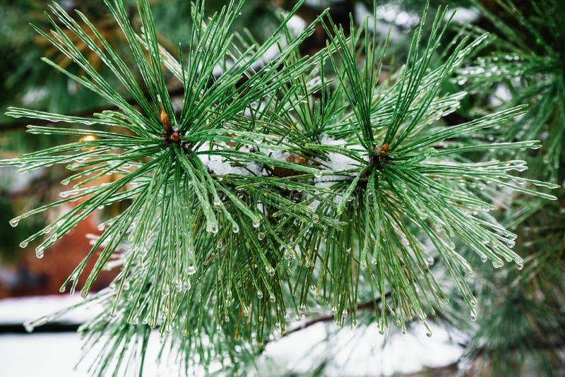 Fondo de la Navidad con los abetos y fondo borroso del paisaje escarchado del invierno del invierno en bosque nevoso foto de archivo libre de regalías