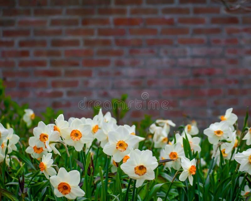 Fondo de la pared de ladrillo de las flores de la primavera fotografía de archivo