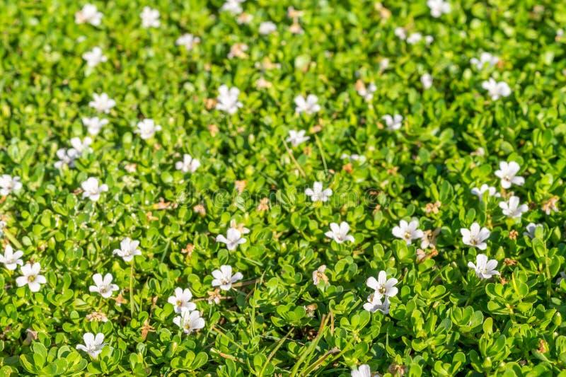 Fondo de la primavera con las pequeñas flores blancas imagen de archivo libre de regalías