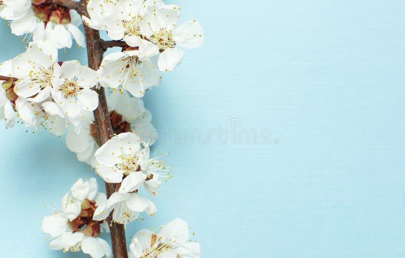 Fondo de la primavera con las ramas florecientes blancas hermosas El fondo azul en colores pastel de la naturaleza, florece las f fotos de archivo libres de regalías