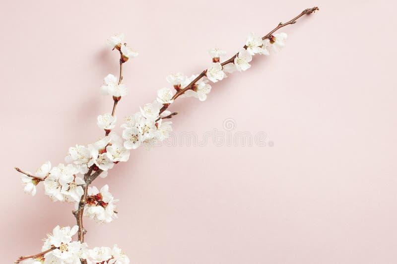 Fondo de la primavera con las ramas florecientes blancas hermosas El fondo rosado en colores pastel de la naturaleza, florece las foto de archivo