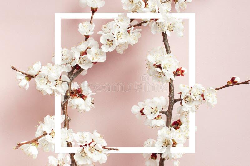 Fondo de la primavera con las ramas florecientes blancas hermosas y el marco blanco El fondo rosado en colores pastel de la natur foto de archivo