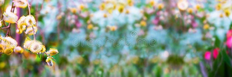 Fondo de la primavera con la rama del sauce con los brotes amarillos en el fondo del jardín floreciente brillante defocused Copie fotos de archivo libres de regalías