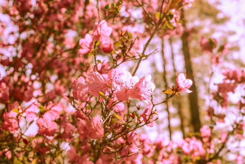 Fondo de la primavera de flores florecientes Flores blancas y rosadas Escena hermosa de la naturaleza con un ?rbol floreciente Ap fotografía de archivo