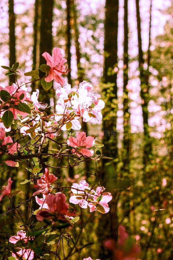 Fondo de la primavera de flores florecientes Flores blancas y rosadas Escena hermosa de la naturaleza con un ?rbol floreciente Ap foto de archivo libre de regalías