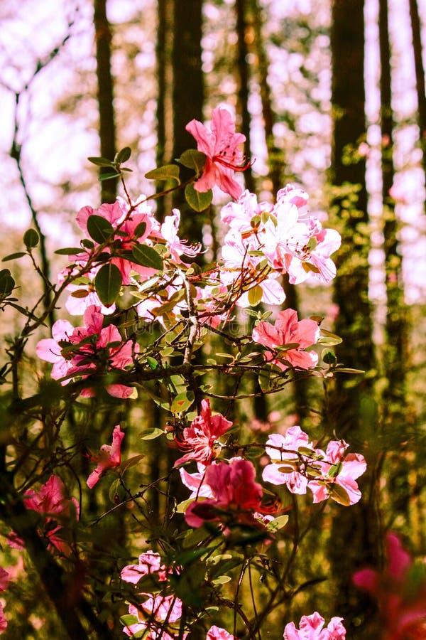 Fondo de la primavera de flores florecientes Flores blancas y rosadas Escena hermosa de la naturaleza con un ?rbol floreciente Ap imágenes de archivo libres de regalías