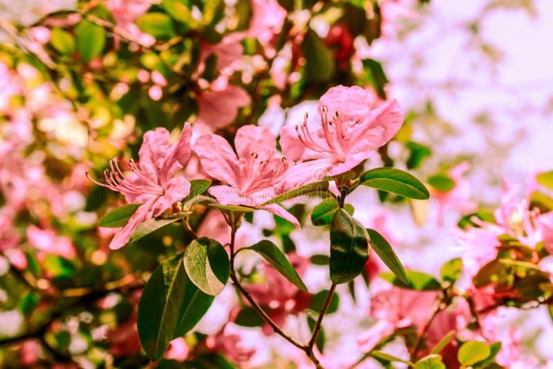 Fondo de la primavera de flores florecientes Flores blancas y rosadas Escena hermosa de la naturaleza con un ?rbol floreciente Ap imagenes de archivo