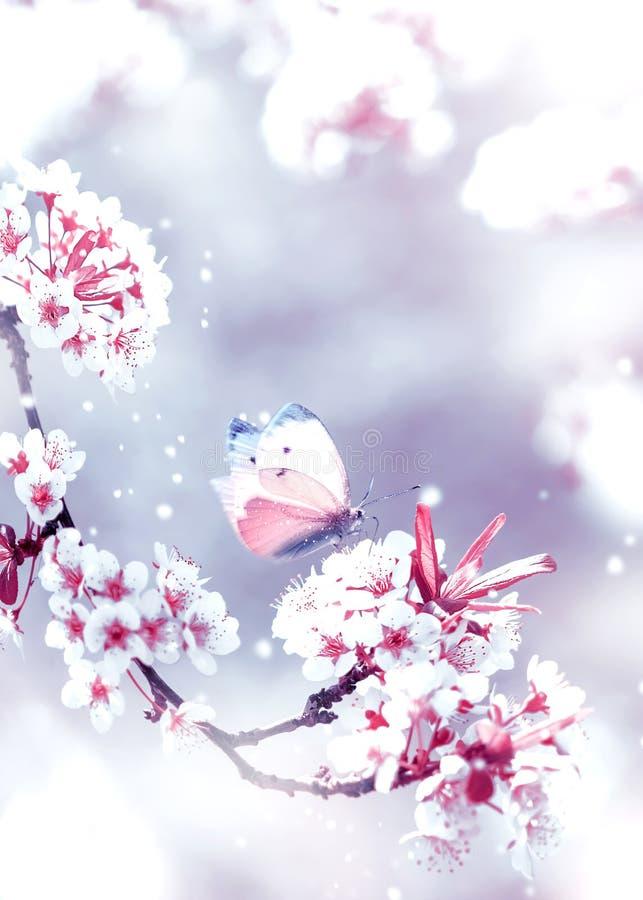 Fondo de la primavera natural Flores delicadas y mariposa blancas y rosadas del albaricoque en el jardín de la primavera fotografía de archivo libre de regalías