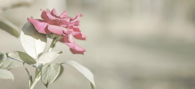 Fondo de la tarjeta de condolencia de la flor de Rose foto de archivo libre de regalías