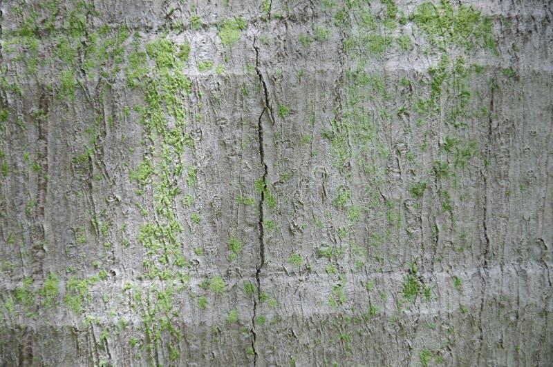 Fondo de la textura del tronco de árbol de coco fotografía de archivo libre de regalías