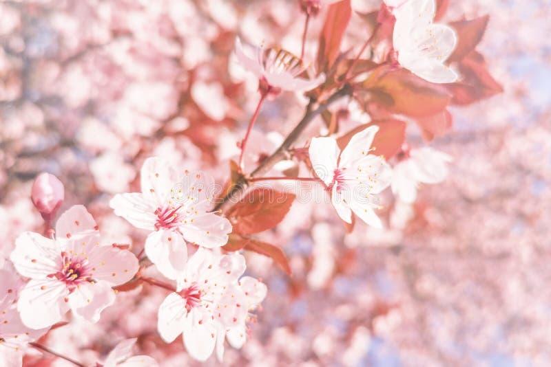Fondo de las flores de cerezo de la primavera, cierre floreciente de la cereza para arriba fotos de archivo libres de regalías