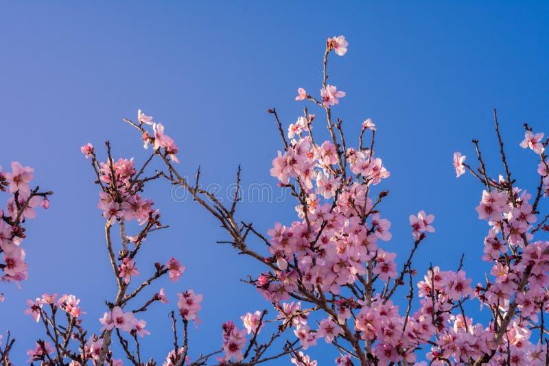 Fondo de las flores rosadas de la almendra sobre el cielo azul en un día de primavera Fondo natural y colorido con las flores ros imagenes de archivo