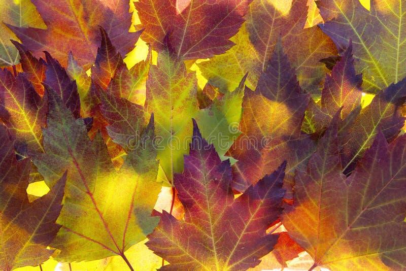 Fondo de las hojas de arce de la caída imagen de archivo libre de regalías