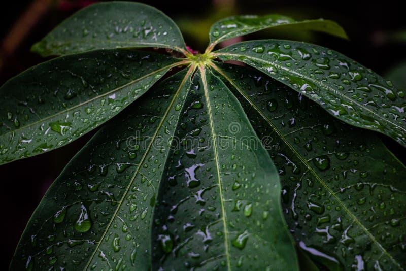 Fondo de las hojas del roc?o y del verde Las hojas verdes colorean tono oscuro después de llover por la mañana foto de archivo libre de regalías