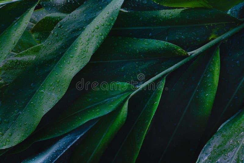 Fondo de las hojas del roc?o y del verde Las hojas verdes colorean tono oscuro después de llover por la mañana fotografía de archivo libre de regalías