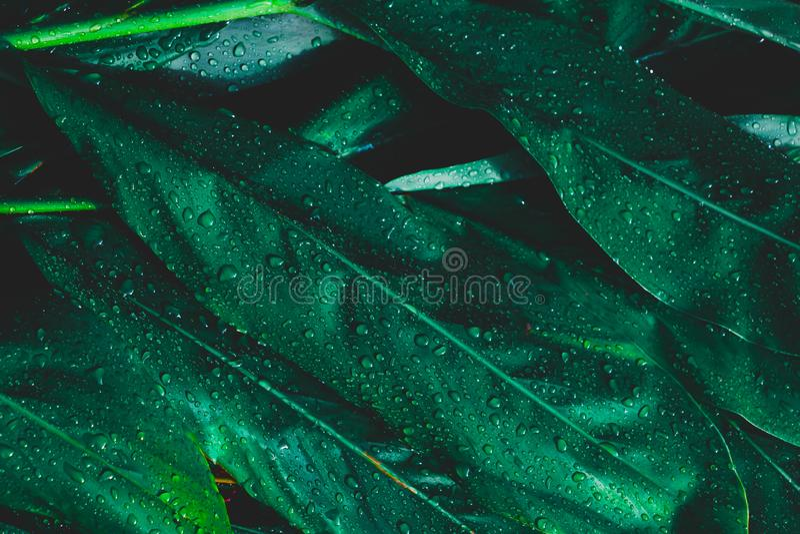 Fondo de las hojas del roc?o y del verde Las hojas verdes colorean tono oscuro después de llover por la mañana fotografía de archivo