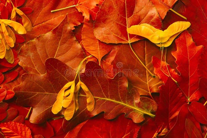 Fondo de las hojas naturales del rojo del otoño fotos de archivo libres de regalías