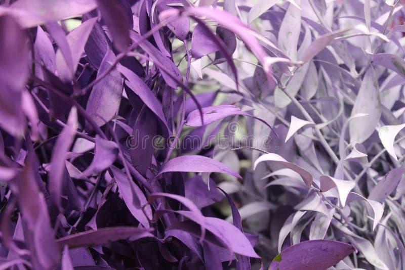 Fondo de las hojas púrpuras y de plata imagenes de archivo