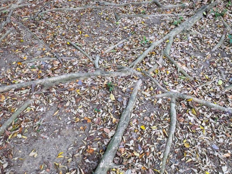 Fondo de las raíces del árbol en la tierra imagen de archivo libre de regalías