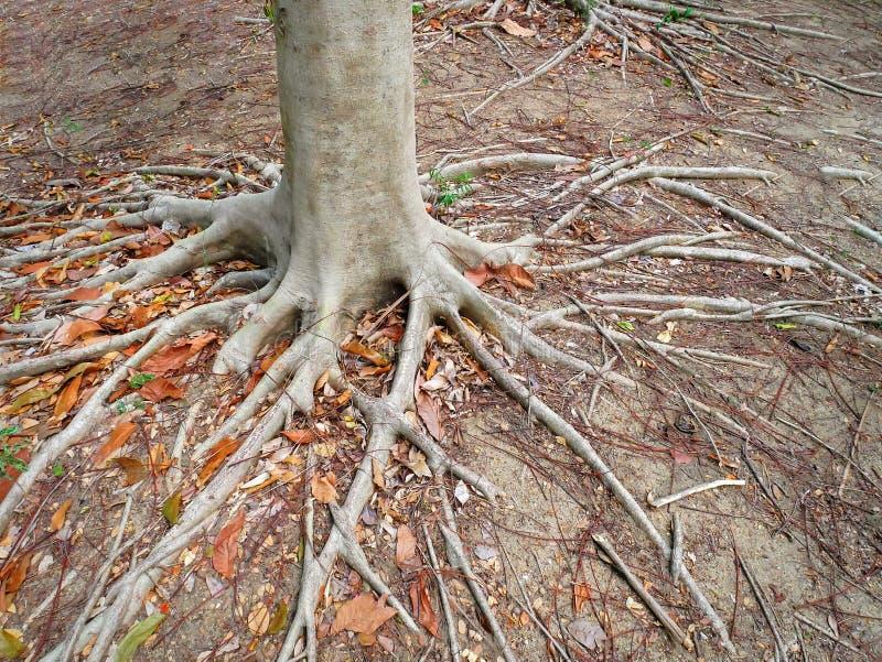 Fondo de las ra?ces y de los troncos del ?rbol en la tierra fotografía de archivo