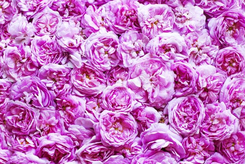 Fondo de las rosas de té rosado imagen de archivo