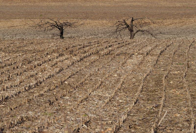Fondo de las tierras de labrantío del invierno Dos árboles desnudos entre las filas de un campo de maíz cortado imagen de archivo