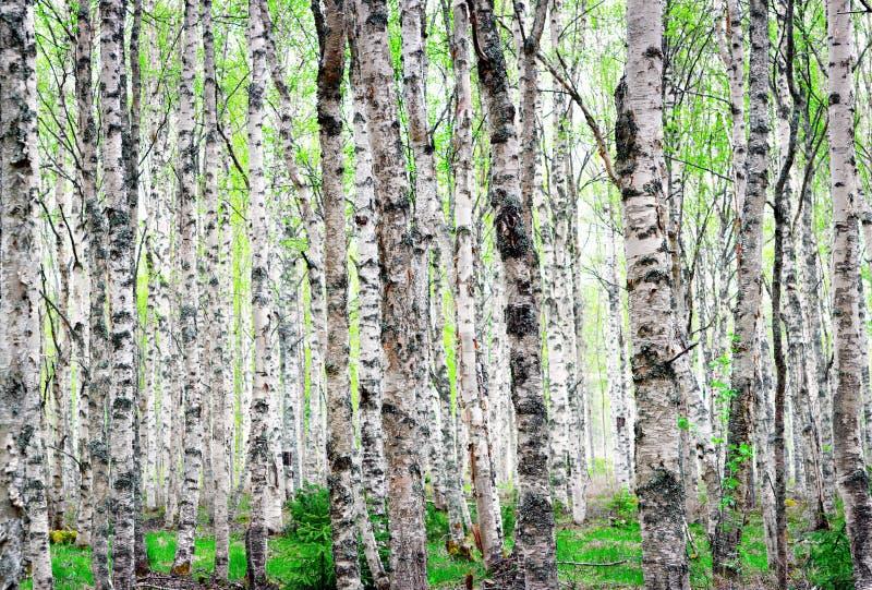 Fondo de los árboles de abedul fotografía de archivo
