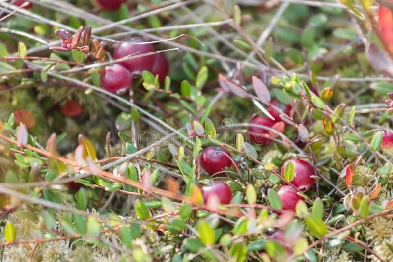Fondo de los arándanos del pantano en naturaleza salvaje fotografía de archivo libre de regalías