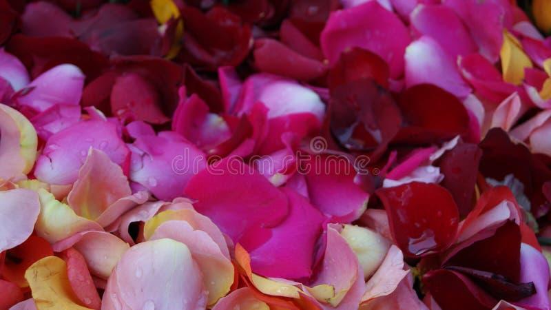 Fondo de los pétalos del ` s de Rose foto de archivo