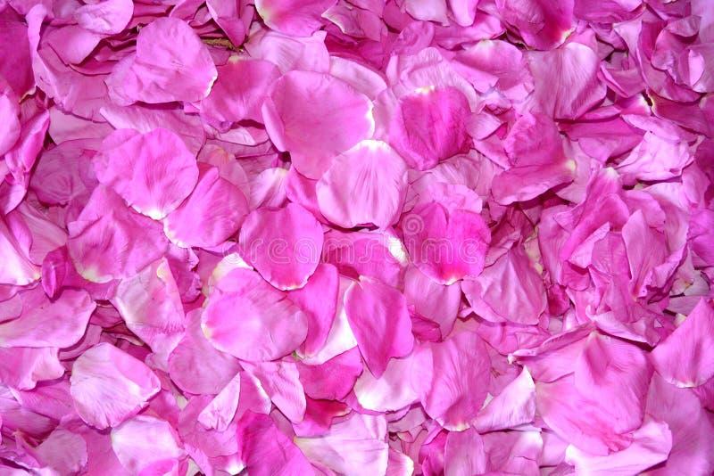 Download Fondo De Los Pétalos Rosados De Un Dogrose Foto de archivo - Imagen de conjunto, d0: 64213246