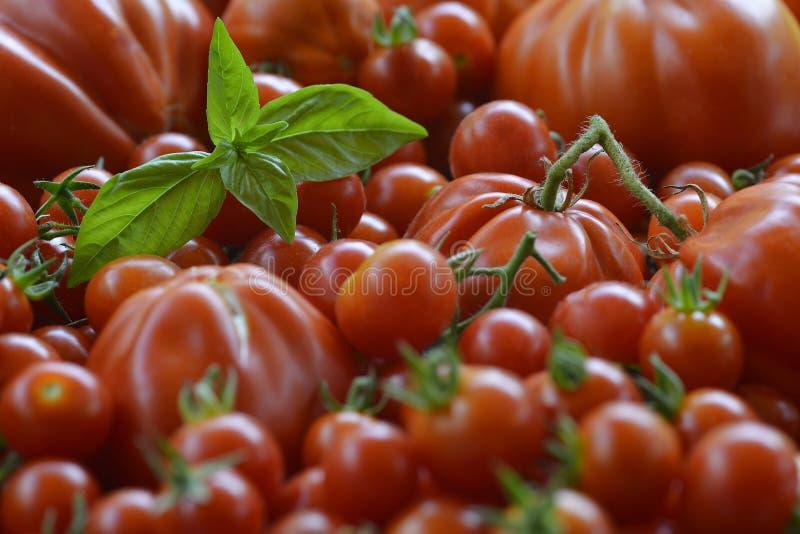 Fondo de los tomates con Basil Leaves 5 fotografía de archivo libre de regalías