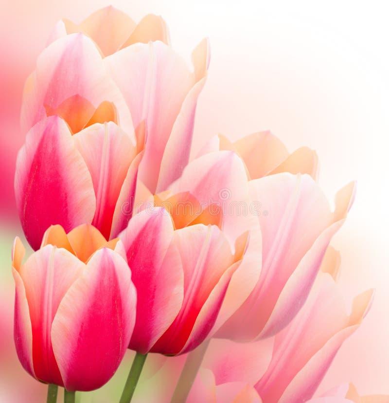 Fondo de los tulipanes fotografía de archivo libre de regalías