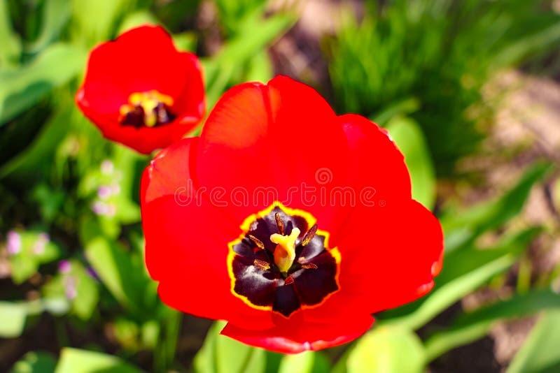 Fondo de los tulipanes de la flor Hermosa vista de tulipanes rojos bajo paisaje de la luz del sol en el centro de la primavera o  imagenes de archivo