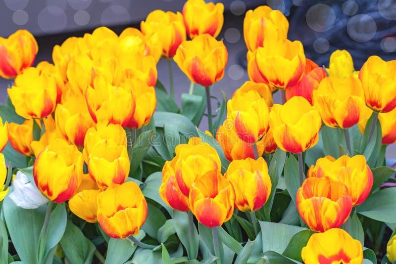 Fondo de los tulipanes Primer de tulipanes amarillos rojos florecientes hermosos coloridos con el foco en los flores delanteros M foto de archivo
