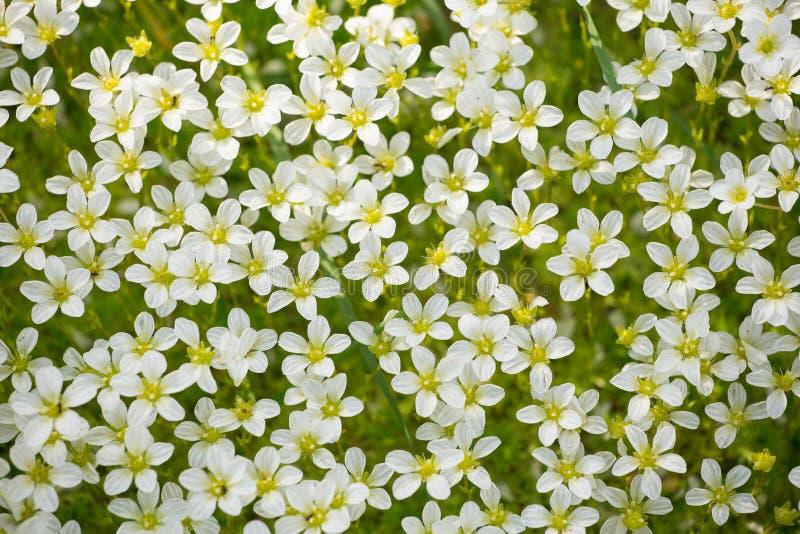 Fondo de muchas pequeñas flores blancas en naturaleza fotografía de archivo libre de regalías