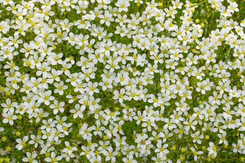 Fondo de muchas pequeñas flores blancas en naturaleza fotografía de archivo