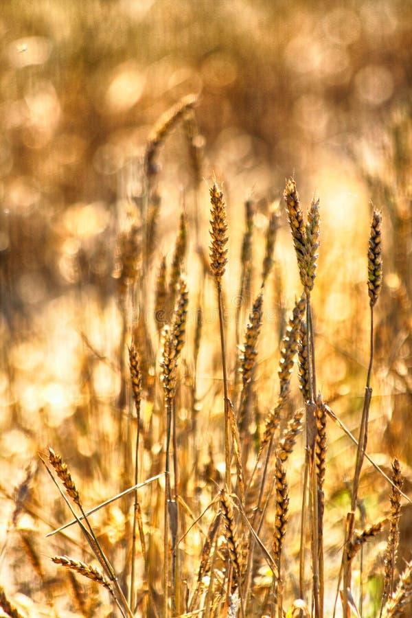 Fondo de oro del maíz fotografía de archivo libre de regalías