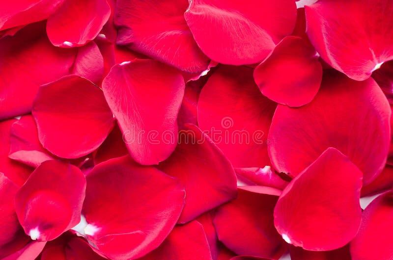 Fondo de pétalos color de rosa rojos foto de archivo libre de regalías