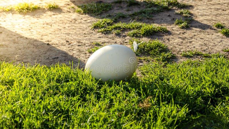 Fondo de Pascua - huevo blanco de la avestruz en hierba verde Nacimiento del nuevo concepto de la vida fotos de archivo libres de regalías