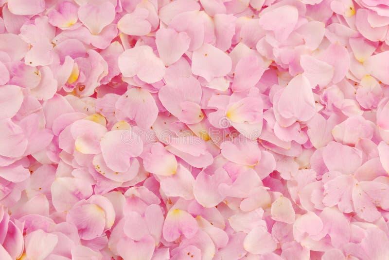 Fondo de rosas foto de archivo libre de regalías